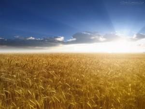 campo-de-trigo-3
